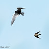 Black Tern And Barn Swallow