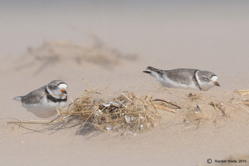 Piping Plovers, Riding Out a Sandstorm