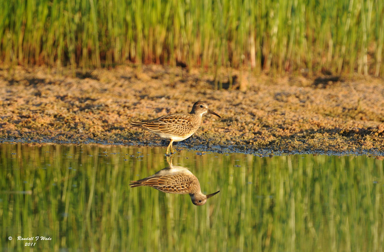 Pectoral Sandpiper and Reflection