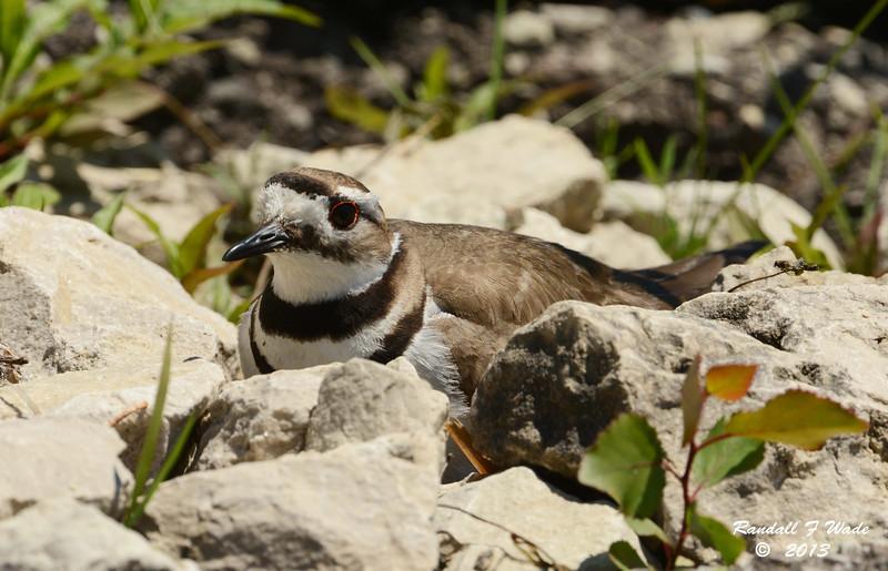 Killdeer on Nest
