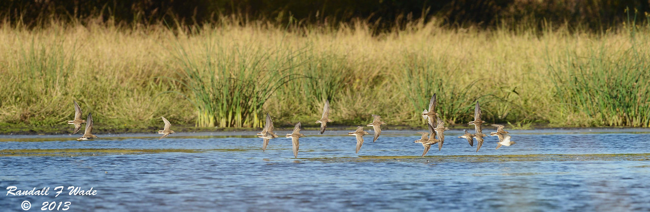 Pectoral Sandpiper Flock In Flight