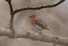 European robin, Rødhals, Erithacus rubecula, Gl. Holte, Danmark, Feb-2013