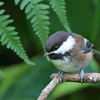 Chestnut-Backed Chickadee<br /> 18 JUN 2012