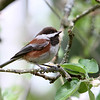 Chestnut-Backed Chickadee<br /> 01 MAY 2012