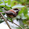 Chestnut-Backed Chickadee<br /> 29 MAY 2012