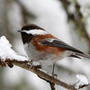 Chestnut-Backed Chickadee<br /> 19 JAN 2012
