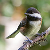 Chestnut-Backed Chickadee<br /> 16 JUL 2013