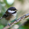 Chestnut-Backed Chickadee<br /> 08 JUL 2013