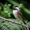 Chesnut-Backed Chickadee
