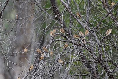Chestnut-breasted Mannikins - Juveniles