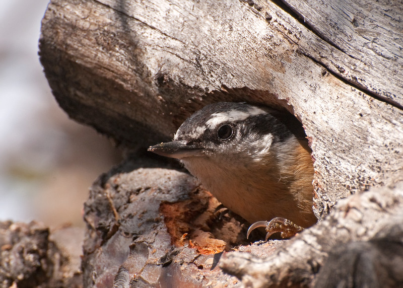 Red-breasted Nuthatch on a nest cavity that it created in a rotted apple tree limb.