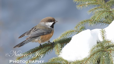 Boreal Chickadee – Version 2