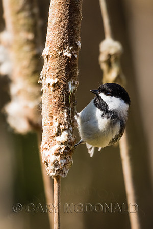 Black Caped Chickadee