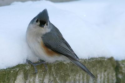 Chickadees, Nuthatches & Titmice