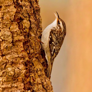 Brown Creeper