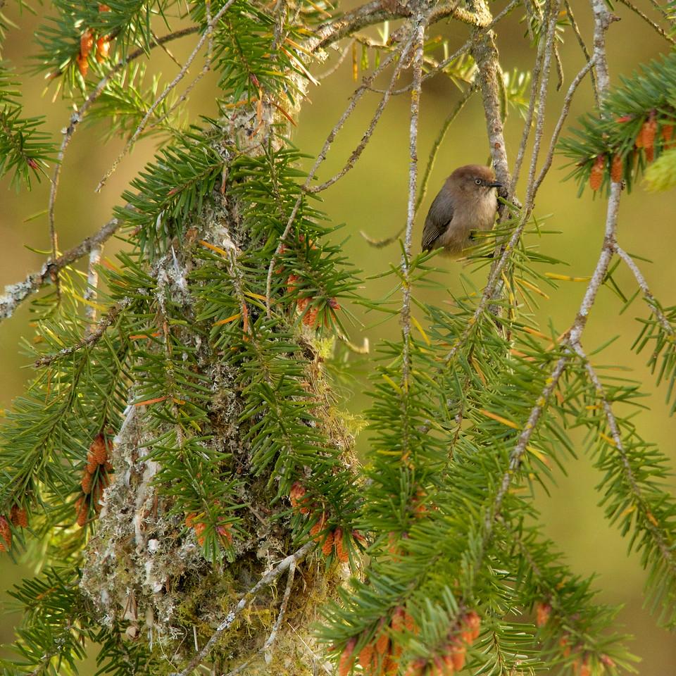 Bushtit with nest