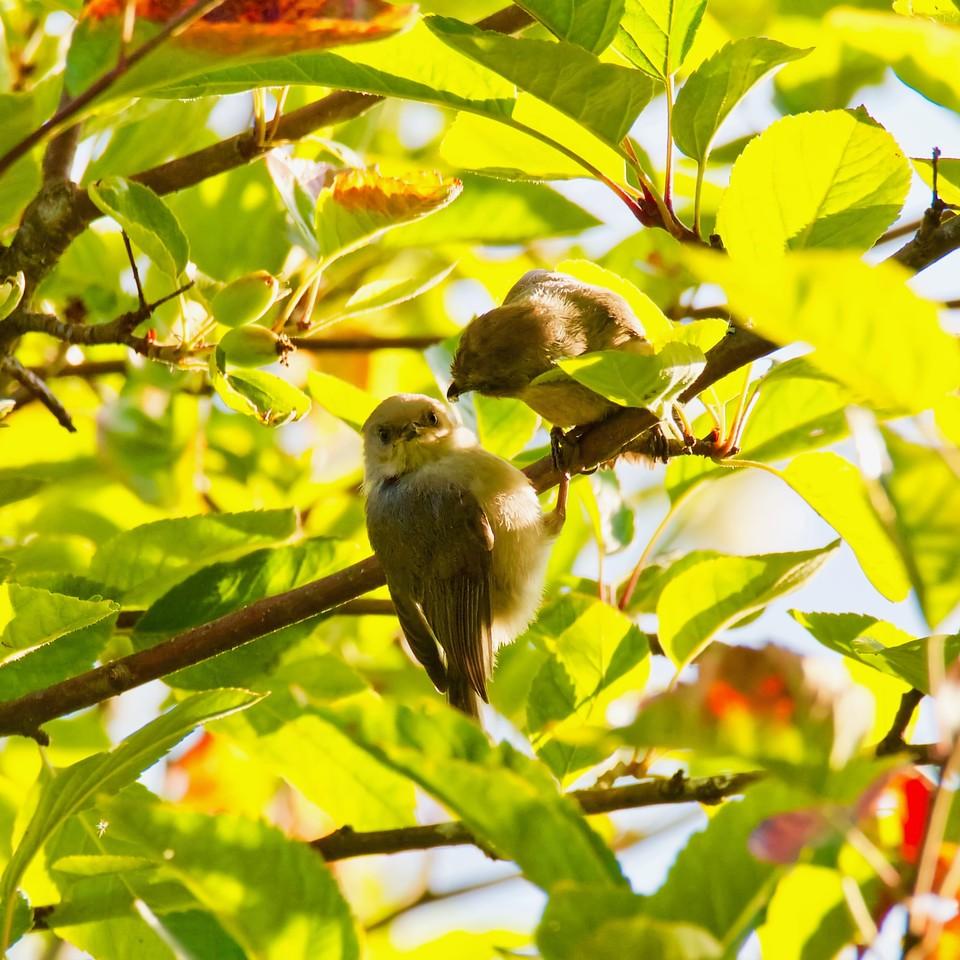 Bushtit and fledgling
