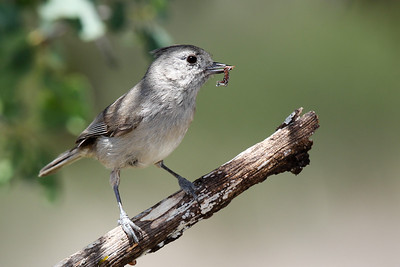 Oak Titmouse with caterpillar