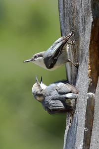 Adult & young Pygmy Nuthatch