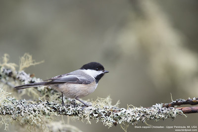 Black-capped Chickadee - Upper Peninsula, MI, USA