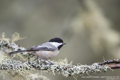 Black-capped Chickadee - Upper Peninsula, MI, USA
