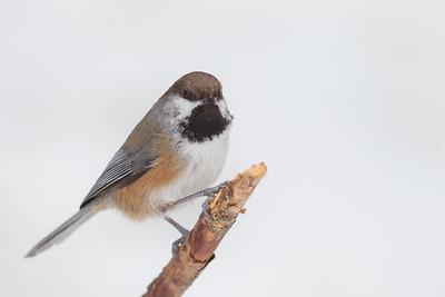 Boreal Chickadee - Sax-Zim Bog, Nr. Duluth, MN, USA