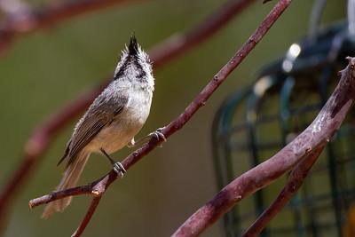 Bridled Titmouse - Hereford, AZ, USA
