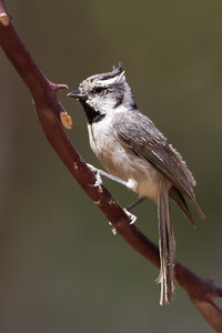 Bridled Titmouse - Ash Canyon B&B, Hereford, AZ, USA