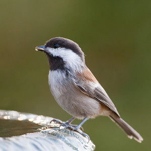 Chestnut-backed Chickadee - Santa  Cruz Mountains, CA, USA