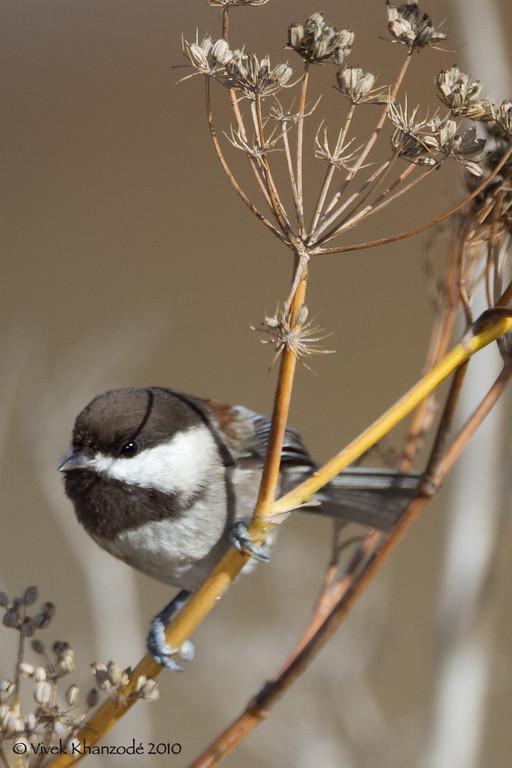 Chickadees & Tits - Paridae