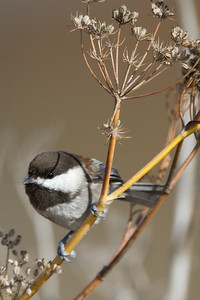 Chestnut-backed Chickadee - Coyote Hills Park, Fremont, CA