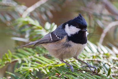 Coal Tit - Mt. Takao-san, Japan