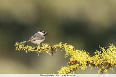 Mountain Chickadee - USA