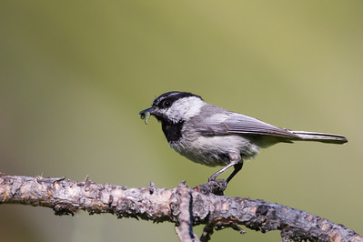 Mountain Chickadee - Yuba Valley Campground, Hwy 49, CA, USA