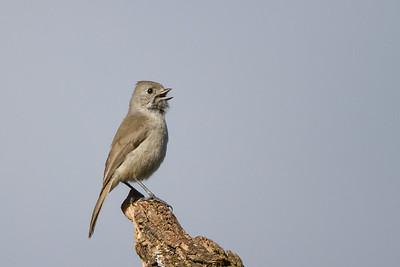 Oak Titmouse - Ed Levin County Park, Milpitas, CA, USA
