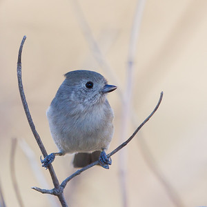 Oak Titmouse - Mines Road, CA, USA
