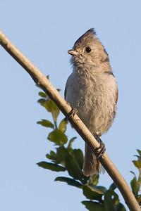 Oak Titmouse - Arastradero Preserve, Palo Alto, CA, USA