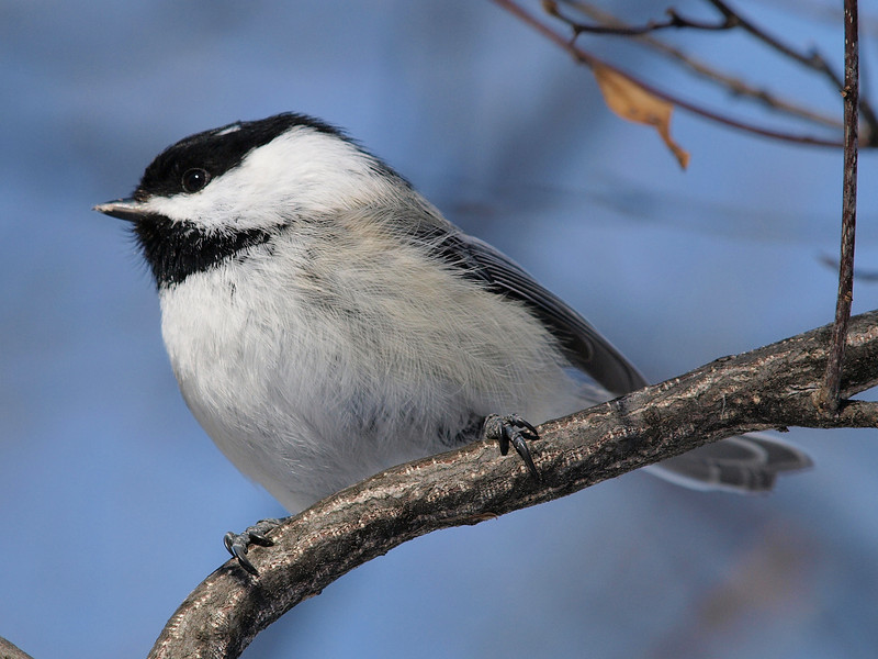Black-Capped Chickadee<br /> Ottawa ON