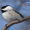 Black-Capped Chickadee<br /> Ottawa ON