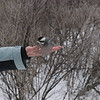 Ball Brenda, black-capped chickadee: Poecile atricapillus, Mud Lake