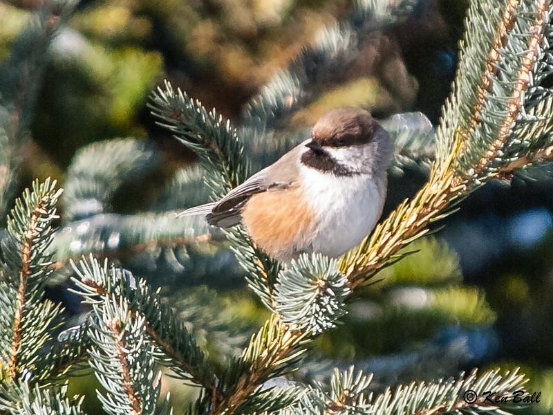 boreal chickadee: Poecile hudsonica, Gatineau Park, Trail 56