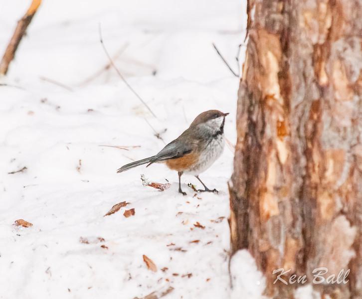 Algonquin Provincial Park, boreal chickadee: Poecile hudsonica