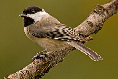 Oct 2006: Chickadee series with 300mm f/4 AFS Nikkor + 1.7 TC.