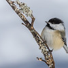Black-capped Chickadee, Algonquin Provincial Park, ON