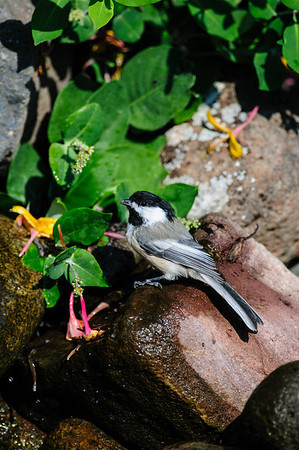 Black-capped Chickadee B8400