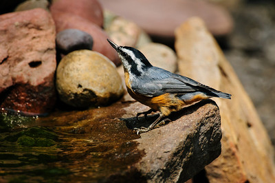 Red-breasted Nuthatch 8174