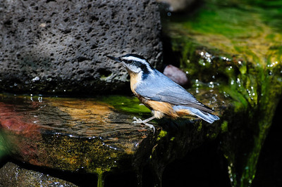 Red-breasted Nuthatch B0630