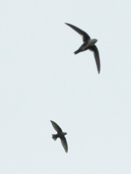 Chimney Swift & White-throated Swift