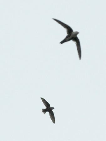 Chimney Swift & White-throated Swift