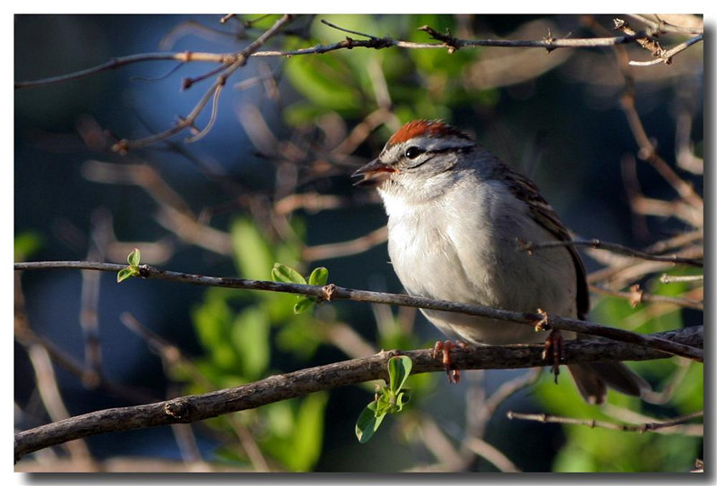 4-23-06 Chipping Sparrow 1